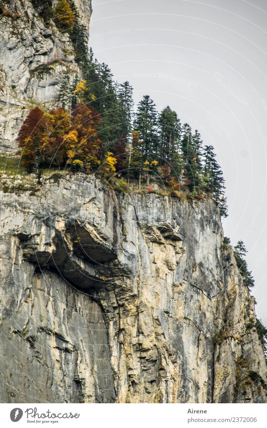 daring Vacation & Travel Adventure Mountain Climbing Mountaineering Landscape Autumn Rock Alps Forest of Bregenz Steep face Hang Threat Wild Brown Gray Green