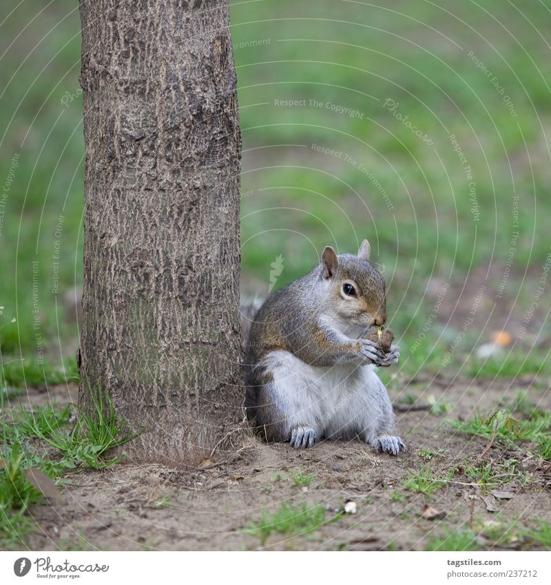 STREET-CROISSANTS Squirrel Easygoing Flexible To feed Nature Animal Toronto Tree Tree trunk Colour photo Copy Space bottom Sit Contentment Nut Nutcrackers