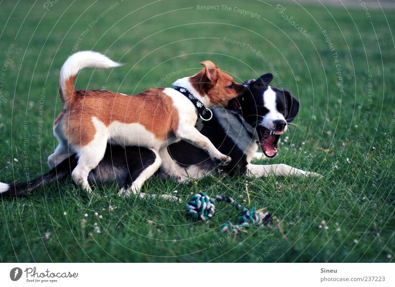 Ouch! Nature Summer Beautiful weather Grass Meadow Animal Pet Dog 2 Fight Playing Brash Astute Cute Brown Green Black White Joy Love of animals Life Movement