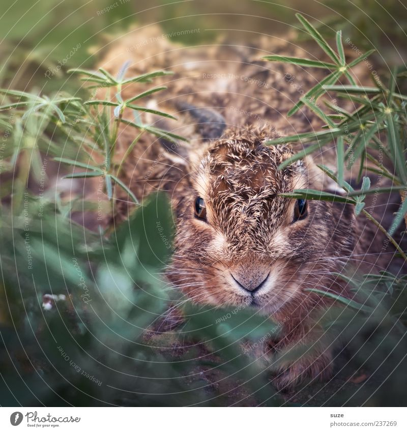 Hanny Bunny Animal Meadow Wild animal 1 Baby animal Small Cute Beautiful Brown Green Fear Hare & Rabbit & Bunny Scaredy-cat Hiding place Hide Rodent