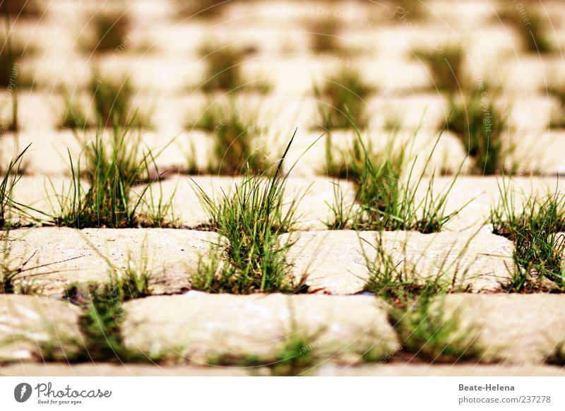 Green Grass Gray Stone Growth Many Cobblestones Symmetry Paving stone Structures and shapes Regular Tuft of grass Grass tip