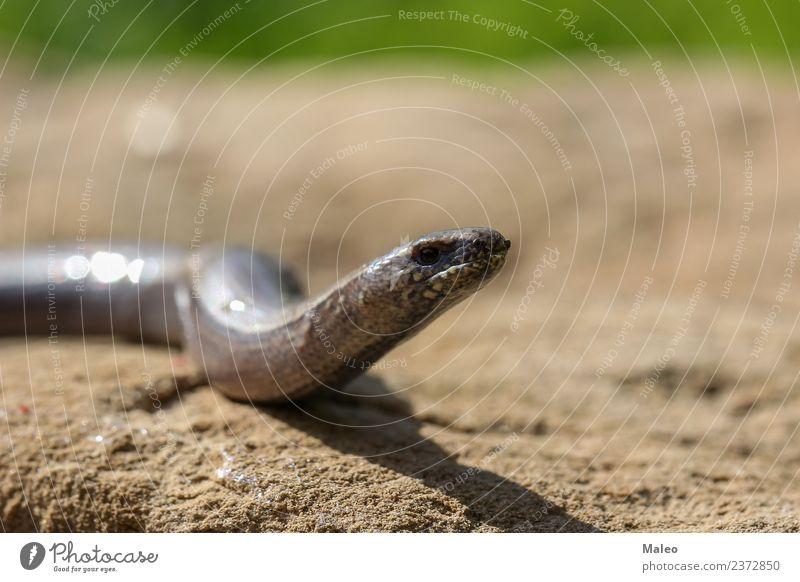 snake Snake Reptiles Animal Nature Wild animal Brown Lizards Blind Near Close-up Crawl Living thing Detail Dragon Europe Eyes Ground Head