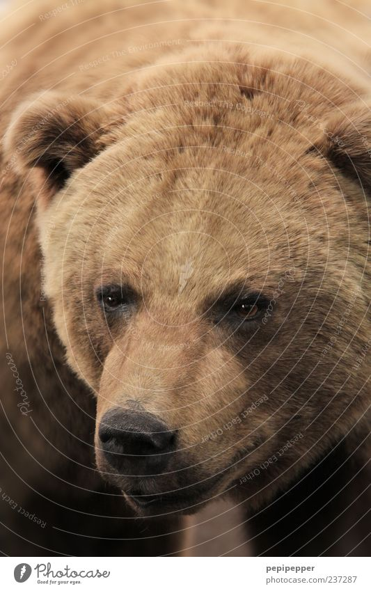 Animal Eyes Head Brown Wild animal Pelt Animal face Bear Brown bear