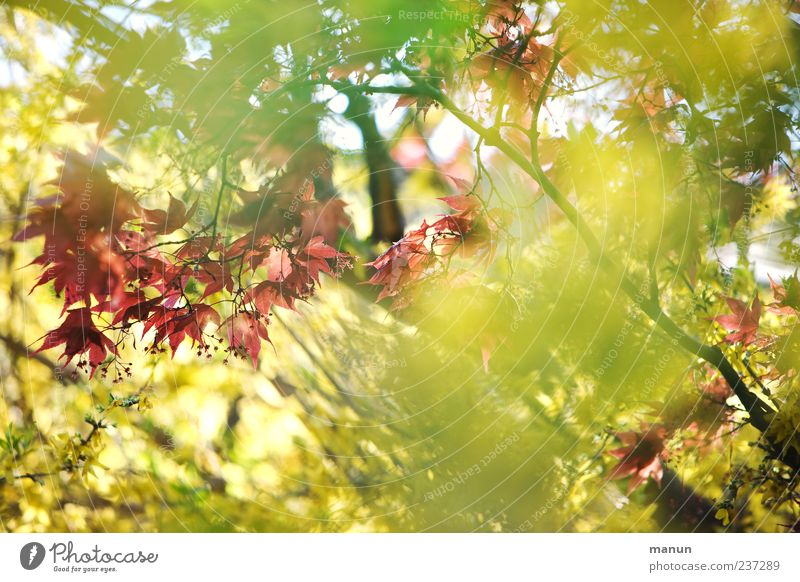 Nature Plant Green Beautiful Red Leaf Yellow Spring Natural Bright Bushes Maple leaf Maple tree Spring fever Twigs and branches Maple branch