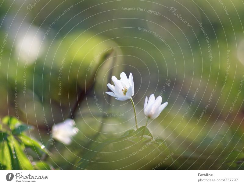 Nature Plant Flower Leaf Environment Spring Small Blossom Bright Natural Delicate Graceful Wild plant Spring flowering plant Wood anemone