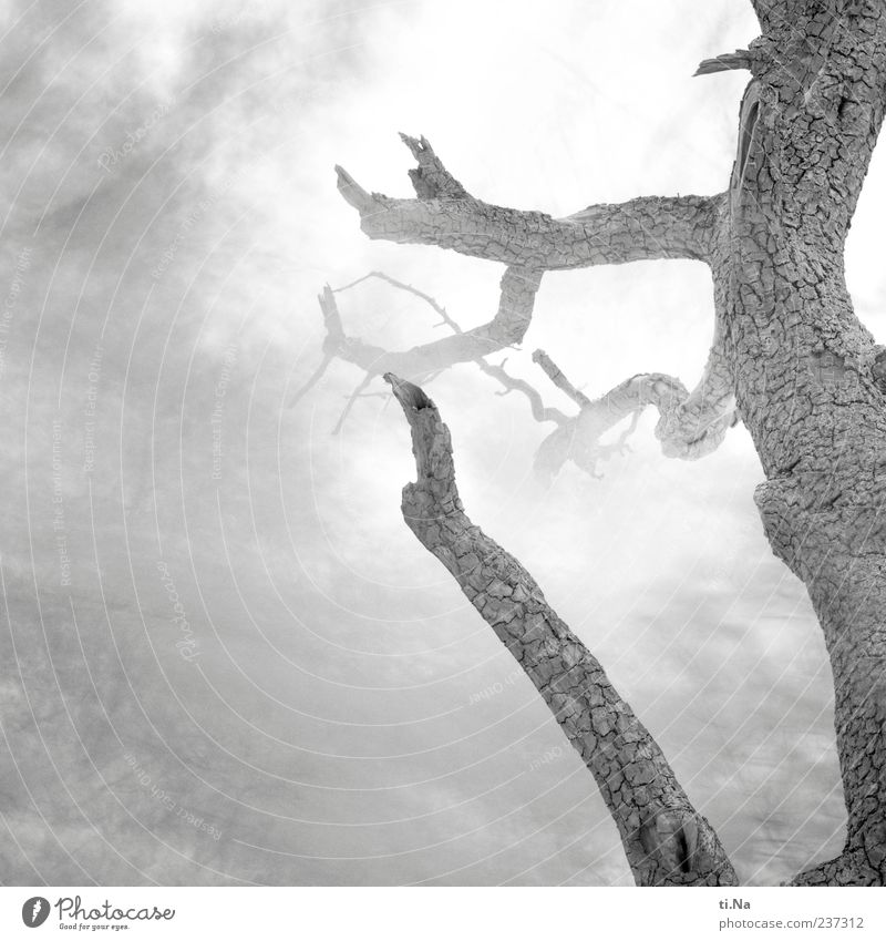 Nature Tree Plant Environment Death Dream Mysterious Gale Tree trunk Eerie Twigs and branches Black & white photo Fruit trees Pear tree