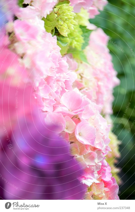 Green Flower Spring Blossom Pink Violet Blossoming Fragrance Blossom leave Pattern Play of colours Hydrangea Spring flower Spring colours Hydrangea blossom