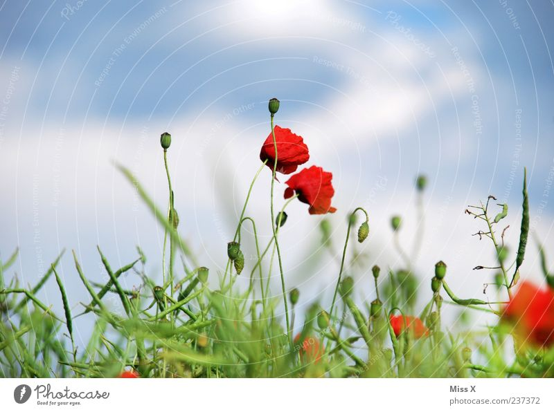 Sky Nature Green Red Plant Summer Flower Leaf Meadow Grass Blossom Field Growth Blossoming Poppy Fragrance
