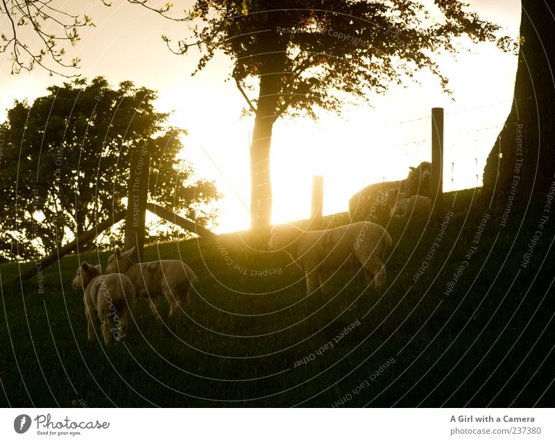as the day draws to an end Nature Landscape Spring Beautiful weather Tree Grass Field Hill Animal Farm animal Sheep Even-toed ungulate Group of animals Herd