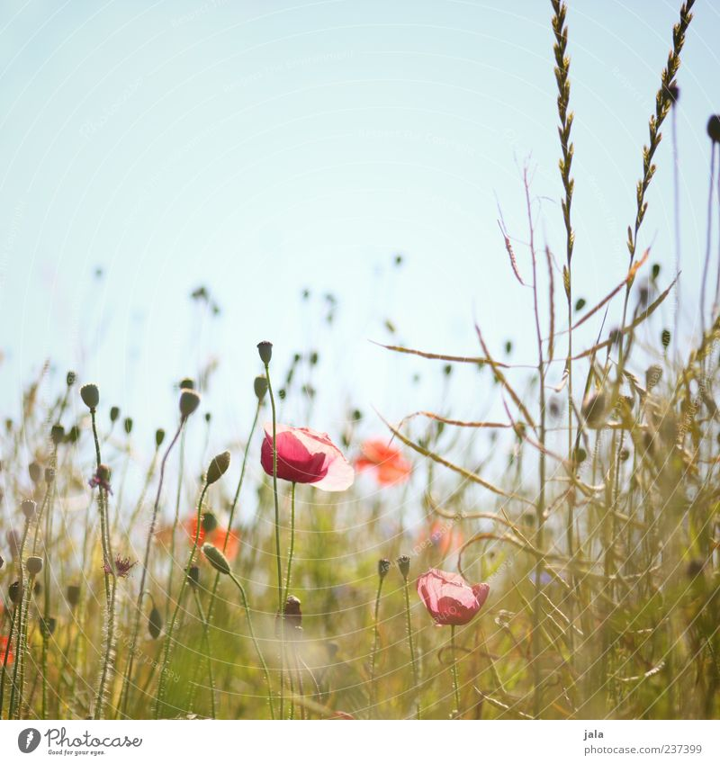 Sky Nature Beautiful Plant Summer Flower Landscape Meadow Grass Idyll Joie de vivre (Vitality) Cloudless sky Joy Poppy field Poppy blossom