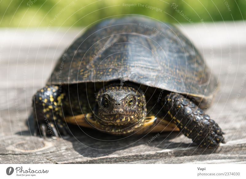 Big turtle on old wooden desk Exotic Summer Sun Desk Table Environment Nature Animal Sunlight Spring Grass Pet Wild animal Animal face Claw Paw 1 Wood Old Crawl