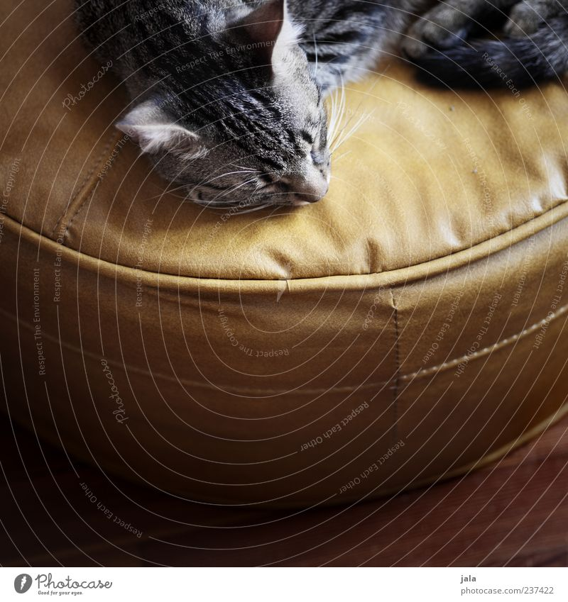 Cat Beautiful Animal Dream Contentment Lie Sleep Warm-heartedness Animal face Trust Serene To enjoy Well-being Pet Safety (feeling of) Armchair