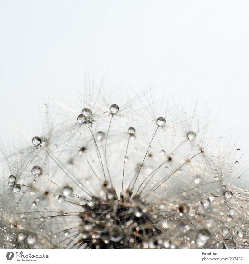 Sky Nature Water Plant Summer Flower Environment Bright Rain Natural Wet Elements Delicate Dandelion Dew Seed