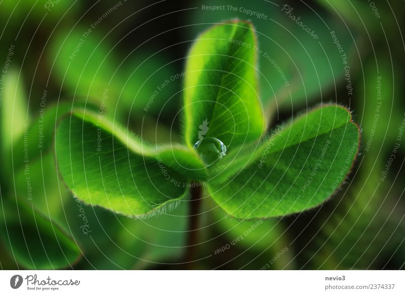 cloverleaf with drops of water in the middle Healthy Summer Environment Nature Plant Grass Leaf Foliage plant Agricultural crop Wild plant Garden Park Meadow
