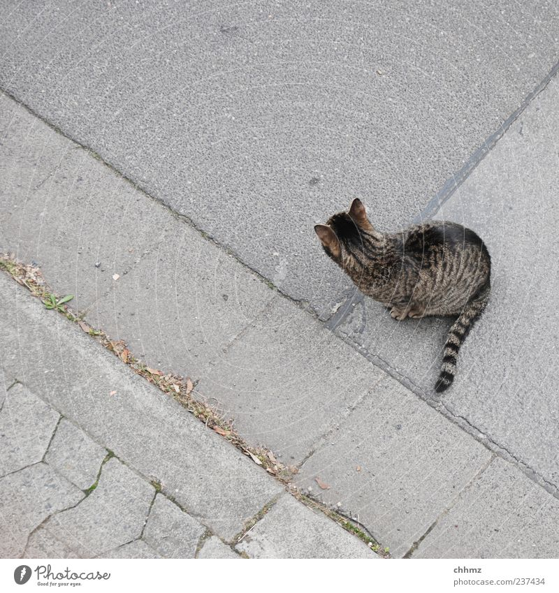 road strays Street Sidewalk Curbside Curbstone Animal Pet Cat 1 Stripe Observe Looking Sit Beautiful Uniqueness Gray Patient Calm Indifferent Freedom Seam Tar