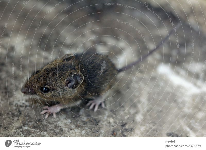 Small field mouse Environment Nature Earth Garden Animal Wild animal Mouse 1 Walking Running Beautiful Cuddly Speed Soft Brown Love of animals Field vole Rodent