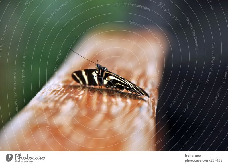 zebra butterfly Nature Beautiful weather Animal Wild animal Butterfly Wing 1 Sit Esthetic Exceptional Elegant Exotic Fantastic Free Bright Uniqueness Near