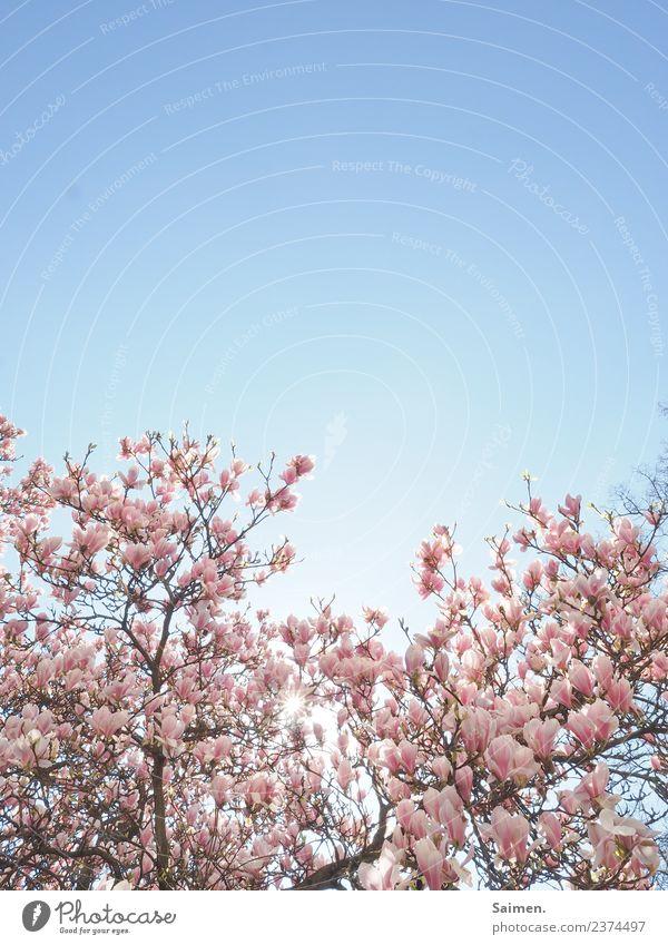 Magnolienblüten Baum Magnolienbaum Blüte blühen Äste Ast Zweig Colour photo Nature Frühling Pink Weiss Himmel blauer Himmel Detail