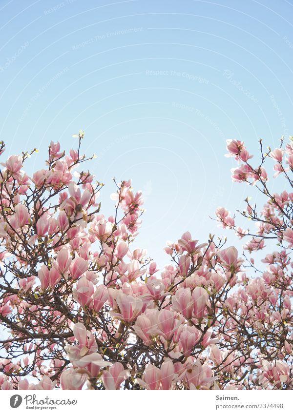 Magnolienblüte Blüte blühen Baum Magnolienbaum Ast Zweig Natur Pink Colour photo Weiss schön Leben gedeihen Detail Garten Park