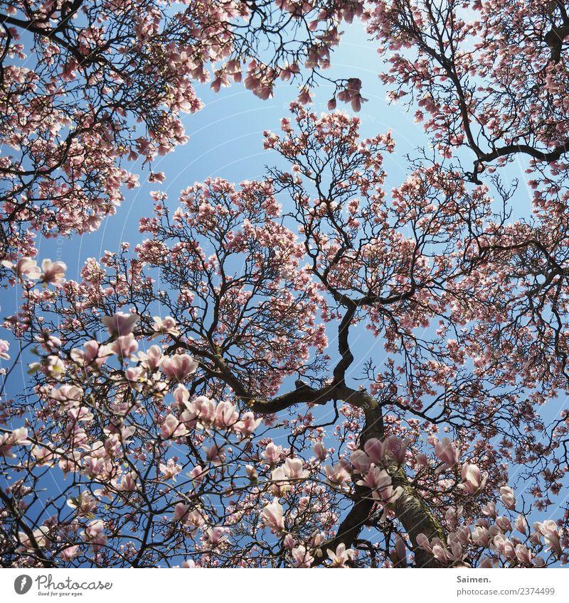 Magnolienblüte Magnolienbaum Blüte Baum blühen Blütenblatt Äste Zweige Natur Colour photo Himmel blau Tag Frühling Pink White Leben