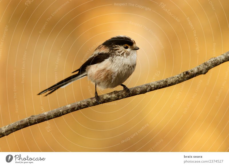 Long-Tailed Tit Nature Animal Forest Environment Natural Small Bird Free Wild animal Europe Spain Science & Research European Love of animals