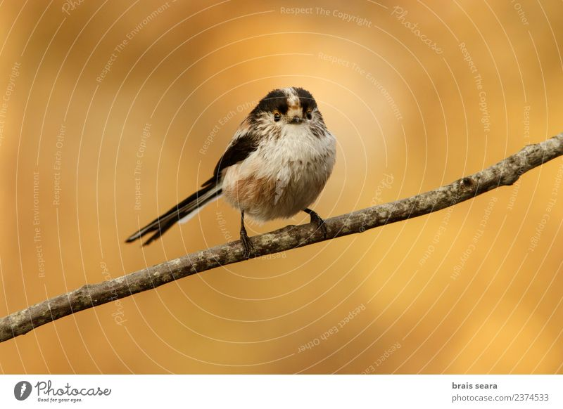 Long-Tailed Tit Nature Animal Forest Yellow Environment Natural Small Bird Free Wild animal Europe Spain Science & Research European Love of animals