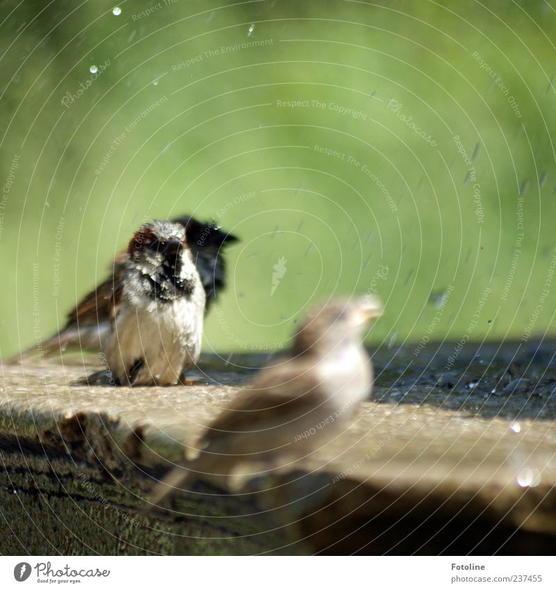 bathing fun Environment Nature Animal Elements Water Drops of water Summer Park Bird Bright Near Wet Natural Brown Green Sparrow Well Stone Colour photo