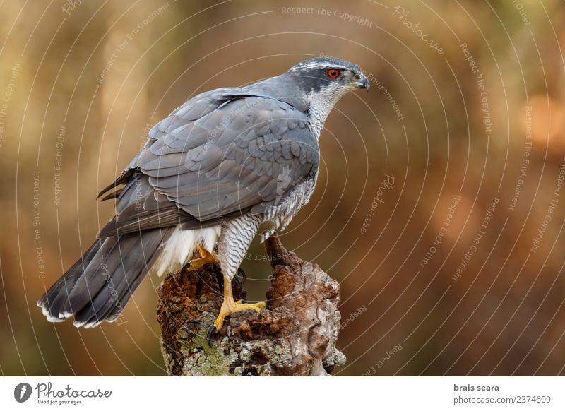 Northern Goshawk Science & Research Environment Nature Animal Forest Wild animal Bird 1 Wood Free Natural Love of animals northern goshawk aves wildlife