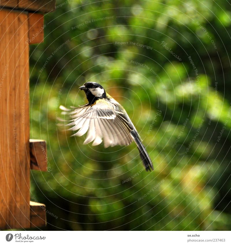 approach Animal Bird Effort Movement Tit mouse Feed Feeding Flying Graceful Dexterity Speed Colour photo Multicoloured Exterior shot Copy Space right