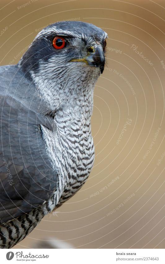 Northern Goshawk Science & Research Environment Nature Animal Forest Wild animal Bird 1 Love of animals Environmental protection northern goshawk aves wildlife