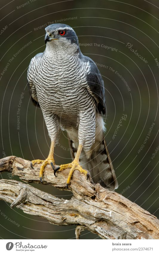 Northern Goshawk Science & Research Biology Ornithology Environment Nature Animal Tree Forest Wild animal Bird Animal face Wing 1 Wood Wait Natural Blue Red