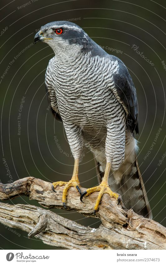 Northern Goshawk Science & Research Environment Nature Animal Forest Wild animal Bird Animal face Wing 1 Wait Elegant Free Beautiful Natural Red Love of animals