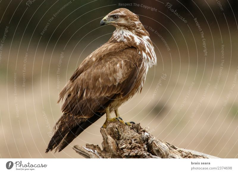 Common Buzzard Science & Research Biology Ornithology Environment Nature Animal Forest Wild animal Bird Wing 1 Wood Wait Natural Love of animals Common buzzard