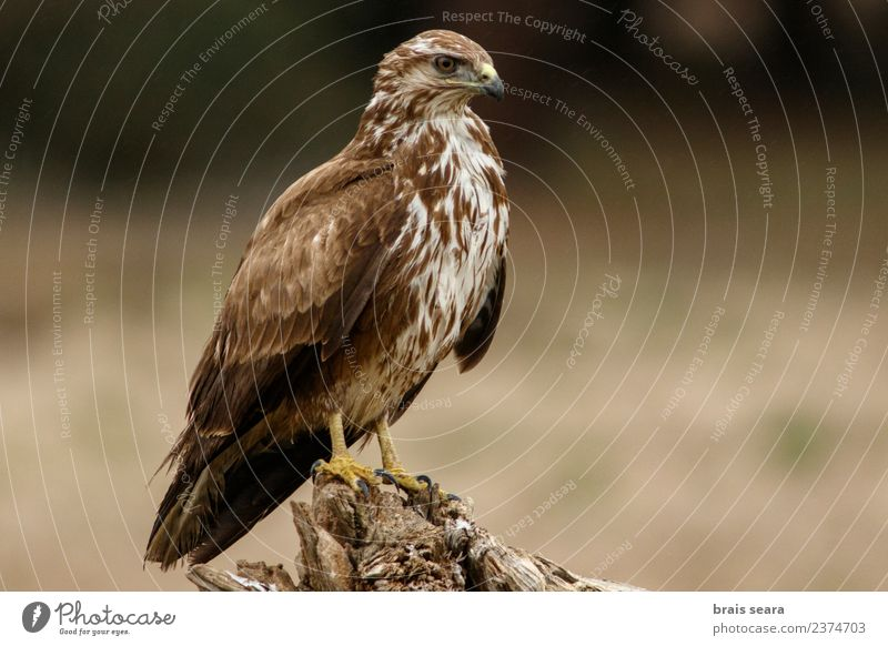 Common Buzzard Science & Research Biology Ornithology Environment Nature Animal Forest Wild animal Bird Animal face Wing Common buzzard Bird of prey 1 Free