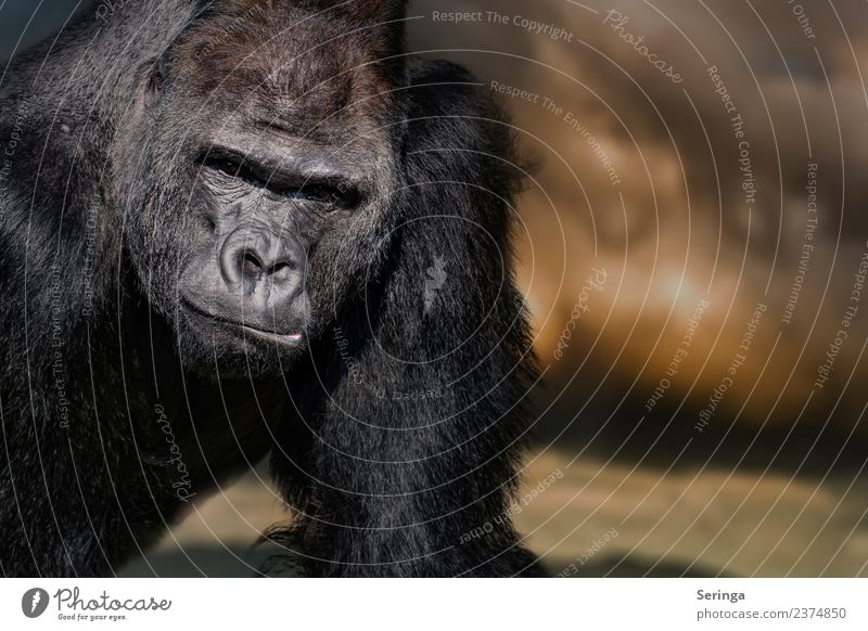 gorilla portrait Animal Wild animal Animal face Pelt Claw Paw Animal tracks Zoo 1 Observe silverback Monkeys Gorilla Colour photo Multicoloured Exterior shot