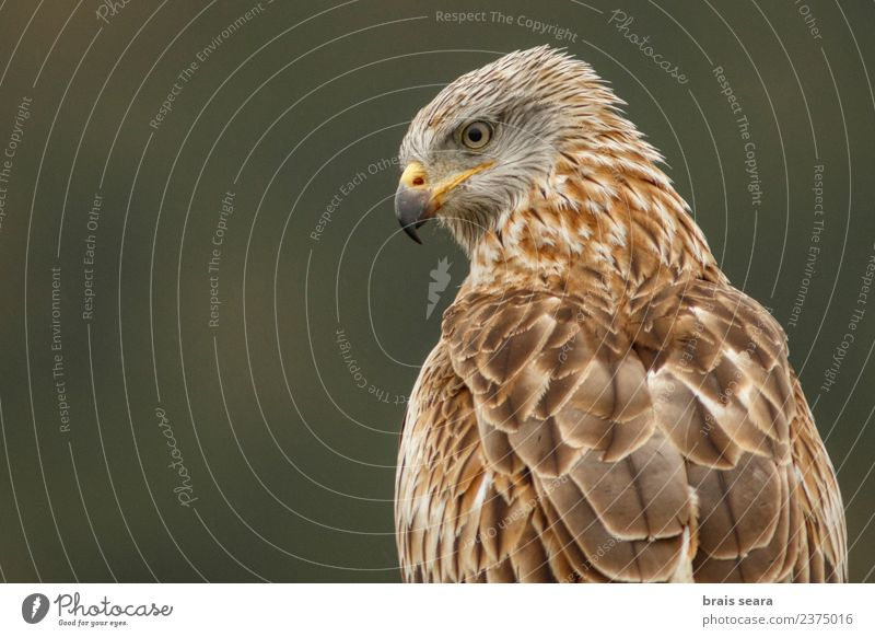 Red Kite portrait Nature Animal Environment Freedom Bird Brown Elegant Wild animal Europe Spain Science & Research European Animal face Love of animals Eagle