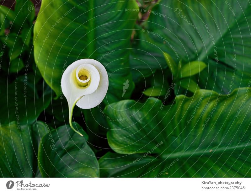 Blossom flower of calla in green leaves Elegant Exotic Beautiful Summer Garden Nature Plant Flower Leaf Growth Fresh Bright Natural New Yellow Green White