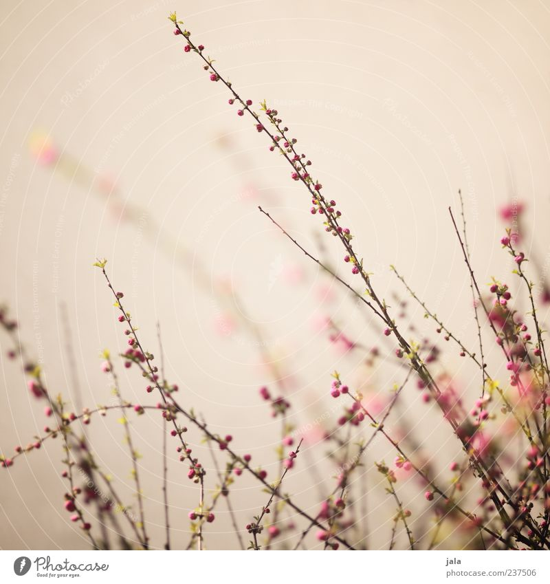 Nature Beautiful Plant Spring Blossom Brown Pink Bushes Spring fever