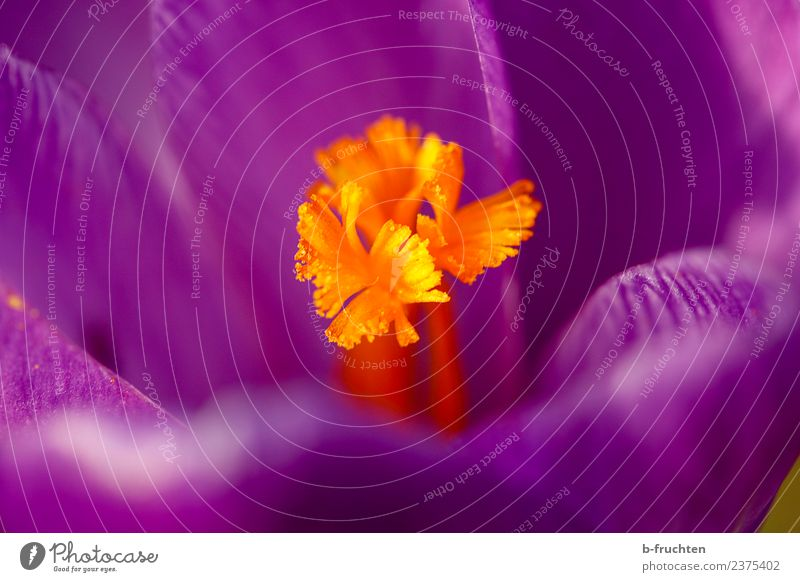 crocus Nature Flower Blossom Violet Orange Crocus Spring Beautiful Spring flower Spring crocus Garden Colour photo Exterior shot Close-up