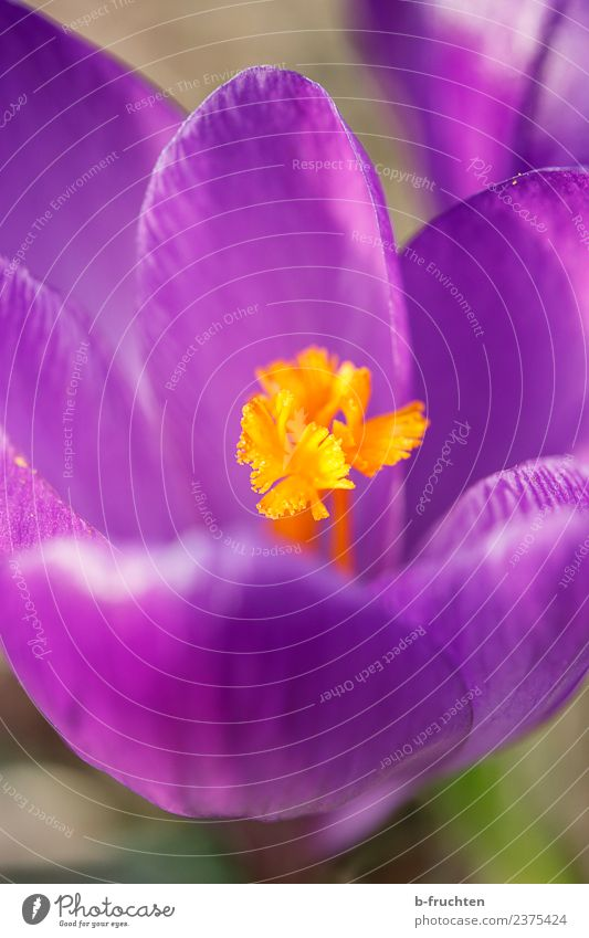 Crocus in detail Spring Plant Flower Blossom Blossoming Violet Orange Spring crocus Calyx Growth Exterior shot Deserted