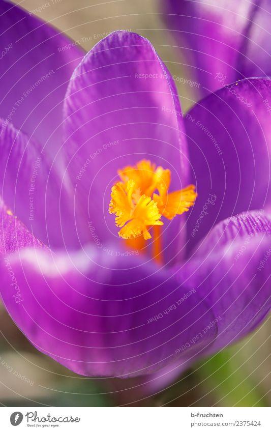 Plant Flower Spring Blossom Orange Growth Blossoming Violet Crocus Calyx Spring crocus