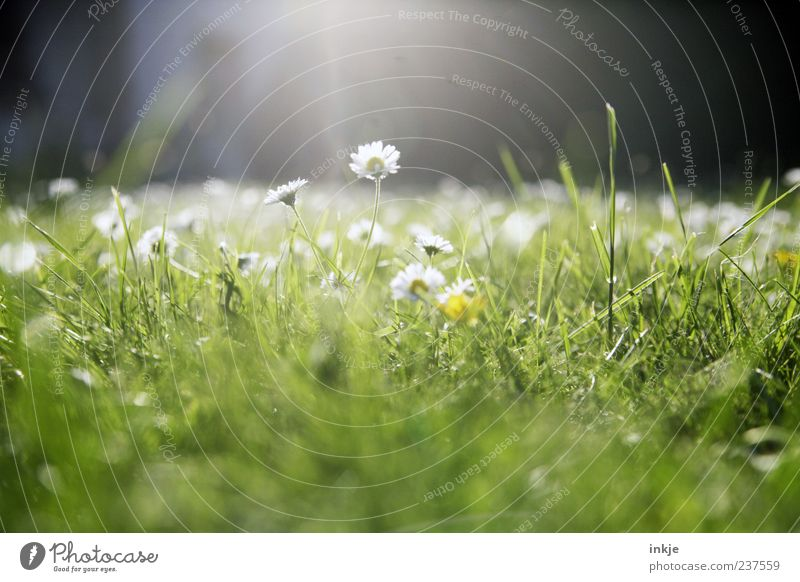 Meadow romance 1 Plant Sunlight Spring Summer Beautiful weather Grass Daisy Lawn Blossoming Illuminate Bright Natural Green White Spring fever
