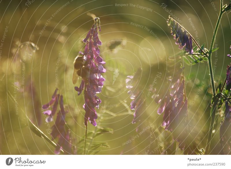 A moment Plant Sunrise Sunset Sunlight Summer Flower Grass Wild plant Meadow Wild animal Bumble bee 1 Animal Natural Brown Green Violet Joie de vivre (Vitality)