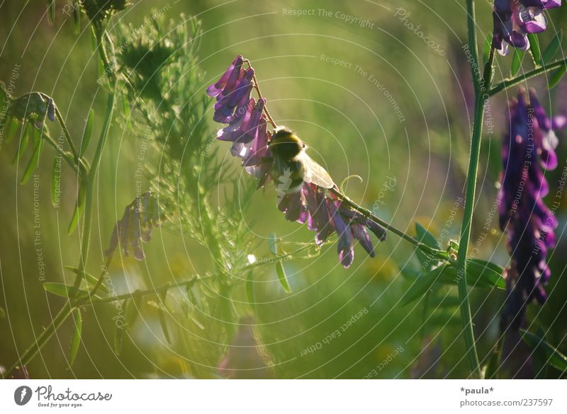 one moment Nature Plant Summer Flower Grass Leaf Blossom Meadow Animal Bumble bee 1 Natural Soft Yellow Green Violet Environment Colour photo Multicoloured