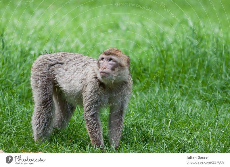 Barbary monkey Monkeys Barbary ape Zoo Grass Meadow Lawn Green Seeking help Golden section Exterior shot Baby animal Full-length Pelt Looking Animal portrait 1