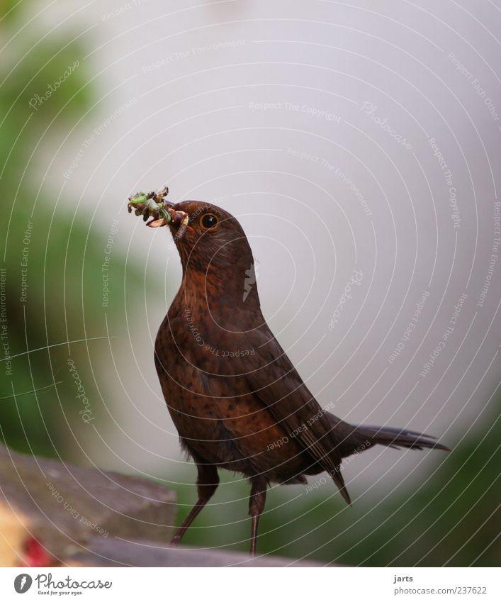 Nature Animal Bird Wild animal Free Feather Feeding Worm Plumed Foraging Larva Action Food Blackbird Protein