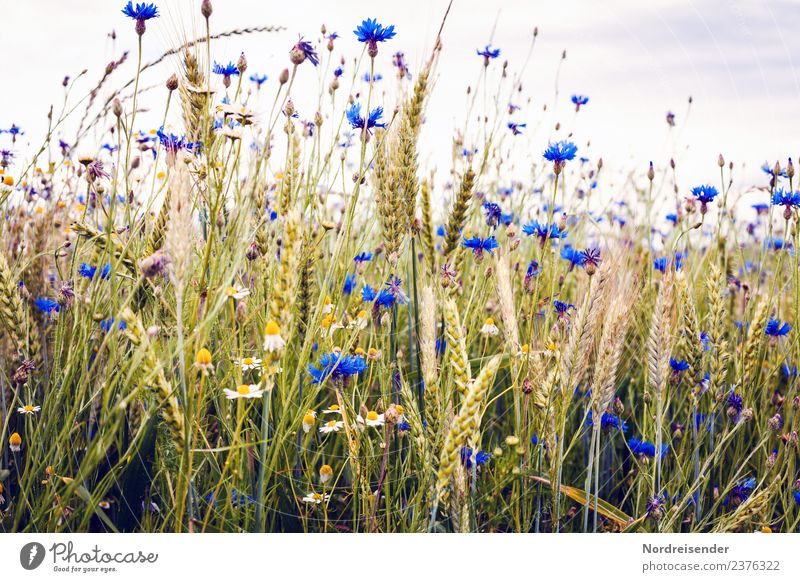 Cornflowers in the field Food Organic produce Agriculture Forestry Nature Landscape Plant Summer Autumn Flower Blossom Agricultural crop Wild plant Field