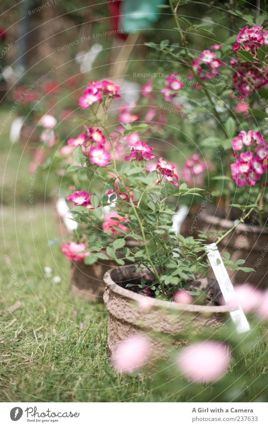 Nature Green Beautiful Plant Flower Spring Garden Blossom Style Pink Elegant Natural Fresh Happiness Stand Rose