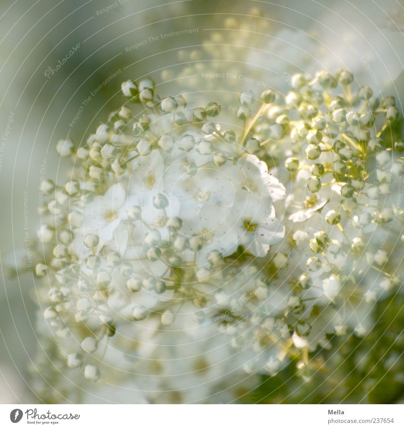 Nature White Green Beautiful Plant Summer Flower Environment Spring Blossom Elegant Natural Growth Change Delicate Blossoming