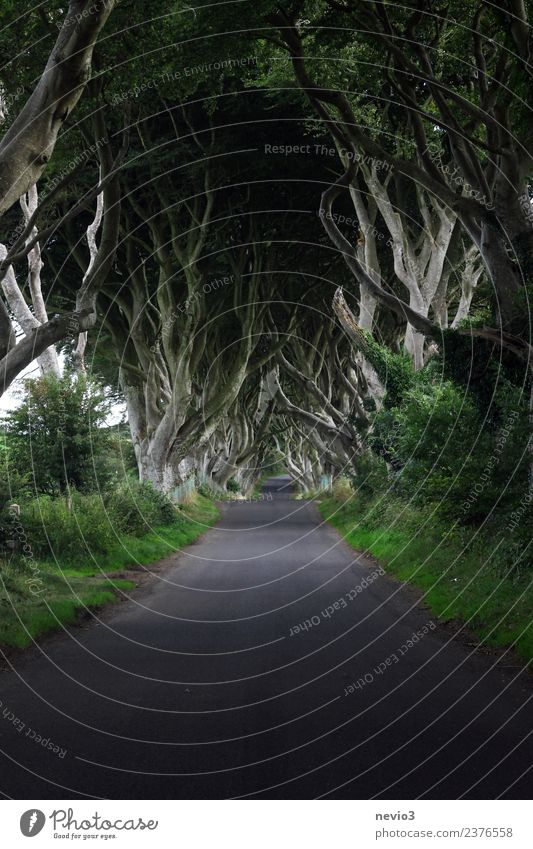 The Dark Hedges in Northern Ireland Environment Nature Landscape Spring Plant Tree Bushes Foliage plant Agricultural crop Forest Street Lanes & trails